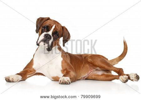 Boxer Dog Lying On White Background