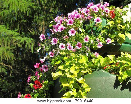 Pink Flowering Petunias In Hanging Outdoor Planters