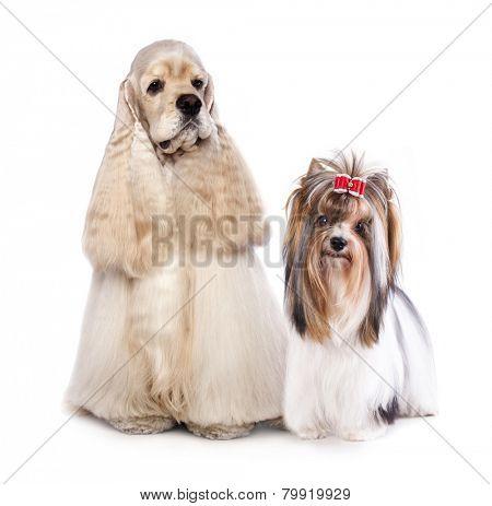 American Cocker Spaniel and biewer Yorkshire terrier