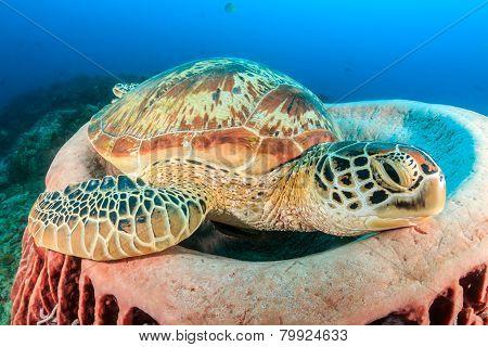 Green Turtle on a Sponge