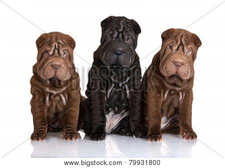 three adorable shar pei puppies
