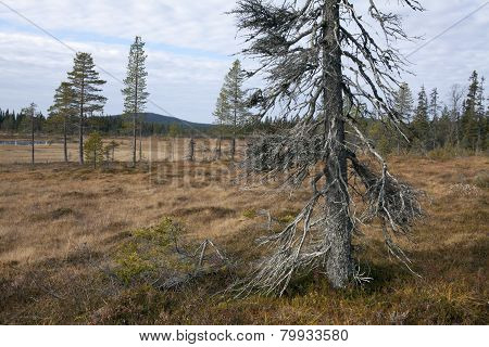 Old spruce, trunk on a bog, morass.