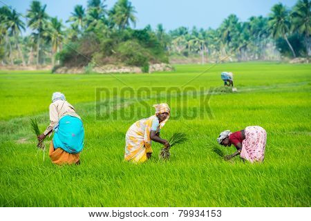 Thanjavour, India - February 13: An Unidentified The Indian Rural Women Planting Rice Sprouts And Ma