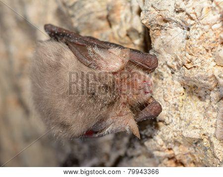 Eastern Pipistrelle Bat (pipistrellus Subflavus)