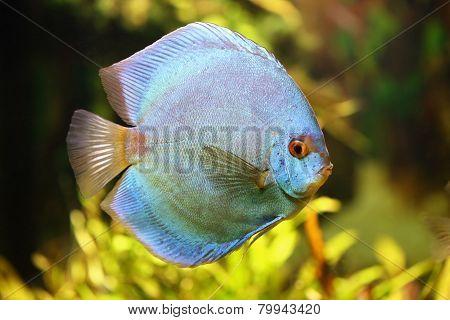 Diskus In The Aquarium