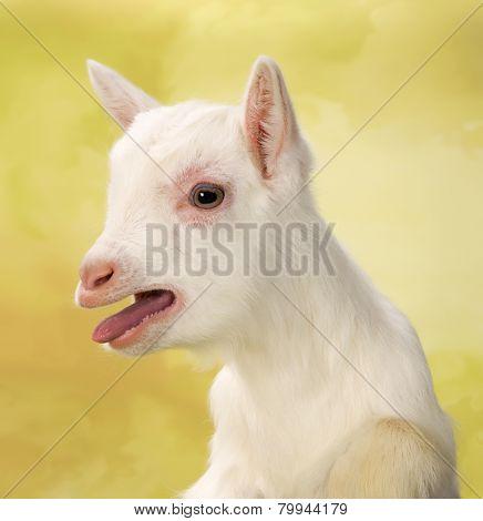 Newborn white baby milk goat bleating loudly