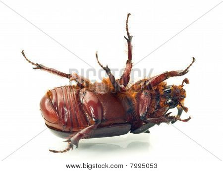 Macro. Belly of rhinoceros or unicorn beetle over white background poster