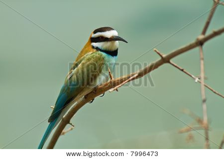 african sparrow