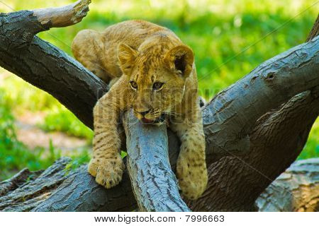 Young lion playing