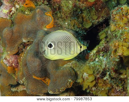Foureye Butterflyfish On A Tropical Coral Reef