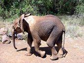 Baby elephant walking poster