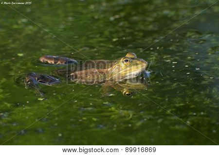 Edible or common water frog