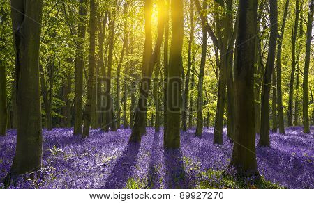 Sunlight Casts Shadows Across Bluebells In A Wood