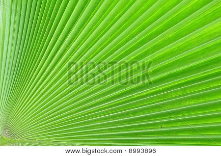Palmae Leaf Pattern Detail