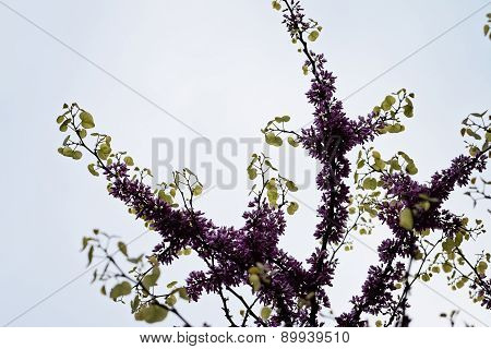 Judas Tree Flower
