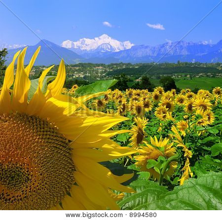 Sunflowers With Mount Blanc