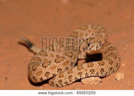 Crotalus Concolor