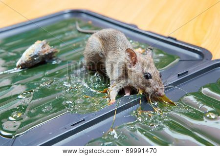 Glue Mousetrap.