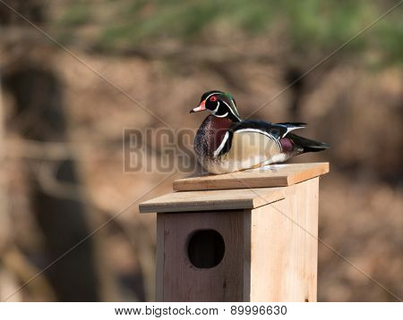 Male And Female Wood Duck