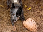 this dog likes to hang out at the beach on the island of molokai hawaii. he will chase his coconut and bring it back to you if you throw it for him poster