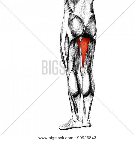 Concept or conceptual 3D gastrocnemius human upper leg anatomy or anatomical and muscle sketch isolated on white background poster