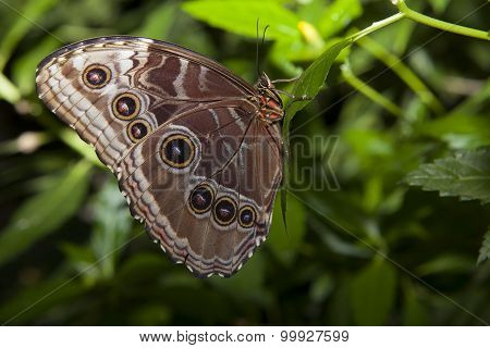 Owl Butterfly Over Green