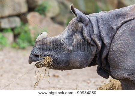 Close-up Of An Indian Rhino