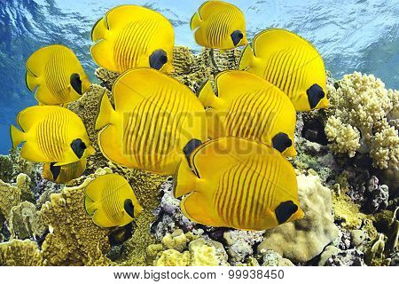 School of butterfly fishes over healthy reefs of Red Sea