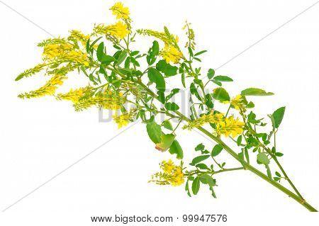 Medicinal plant: Melilotus officinalis (Yellow Sweet Clower) poster