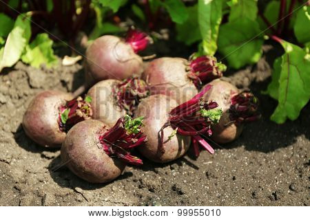 Fresh new beet on soil in garden