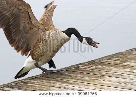 Aggressive Canada Goose landing on the edge of a wooden pier