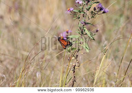 Monarch Butterfly on New England Aster