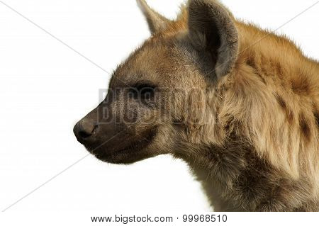 Hyena smiles