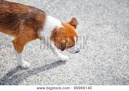Homeless Hungry Mongrel Dog Walking Alone On The Street