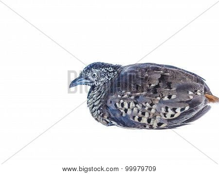 Adult Quail On White Background