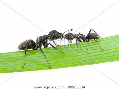 Ants Kiss