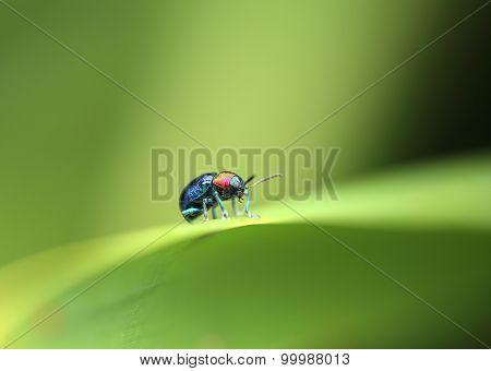 A Beetle Perched On A Plant Leaf. Superfamily Scarabaeoidea, Family Scarabaeidae, Subfamily Rutelina
