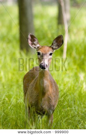 Whitetail Deer Female Doe