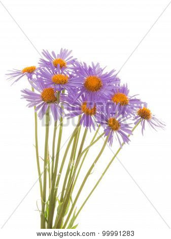 Bouquet Purple Daisies