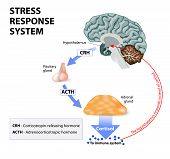Stress response system. Stress is a main cause of high levels of cortisol secretion. Cortisol is a hormone produced by the adrenal cortex. poster