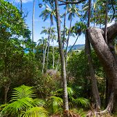 Tropical forest with ferns and palms, including the endemic Howea forteriana palm, on Intermediate Hill on Lord Howe Island, Australia poster