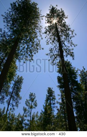 Tall pine trees against the blue sky towering giants poster