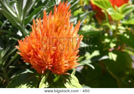 Orange Furry Flower
