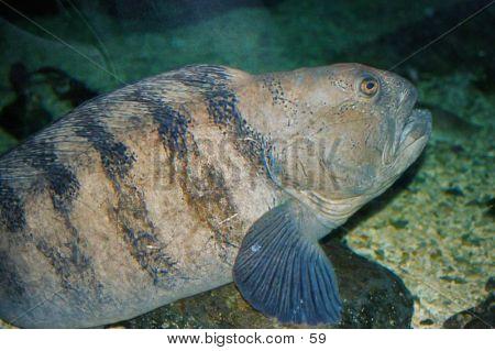 Large Unattractive Fish