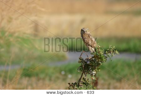The Sentry Owl