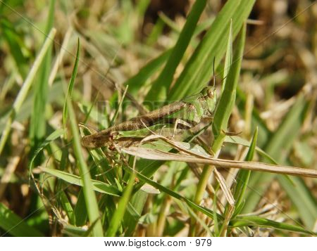 Grass Hopper