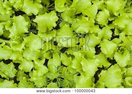 Lettuce in the garden.