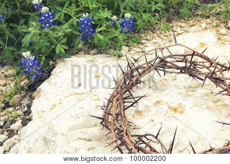 Crown Of Thorns On Rocky Ground With Texas Bluebonnets