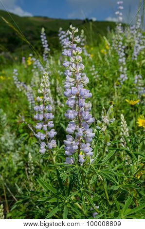 Purple Lupin In Colorado Mountains