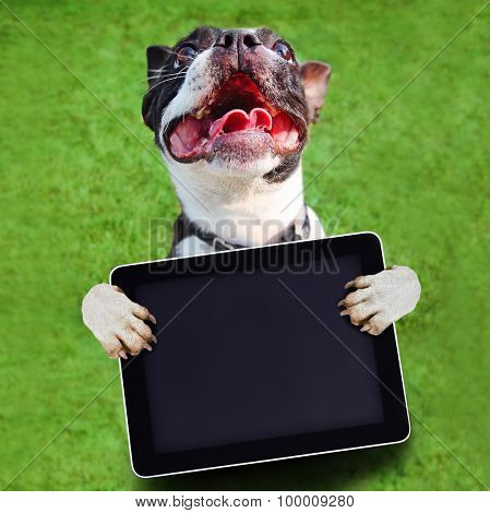 a cute boston terrier with his paws in the air holding a blank tablet on green grass